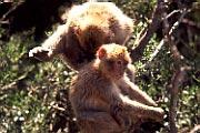 Gibraltar monos