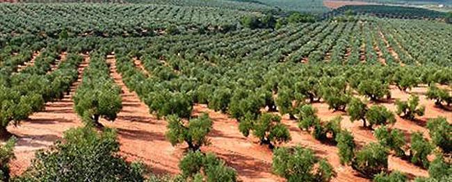 Olivo Aceite