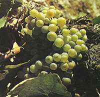 vinos_galicia7