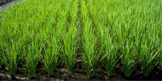 arroz_02