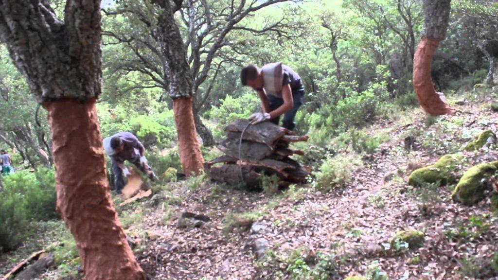 Saca de corcho en Extremadura