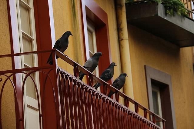 Plagas de palomas en Madrid